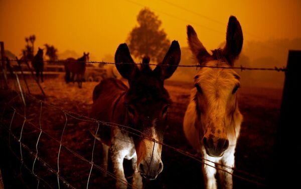 Động vật trong vụ cháy rừng ở Úc - Sputnik Việt Nam