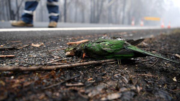 Con vẹt chết trong vụ cháy rừng ở Úc - Sputnik Việt Nam