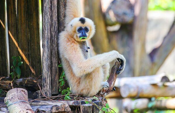 Con vượn tại công viên VinPearl Safari trên đảo Phú Quốc. Việt Nam - Sputnik Việt Nam