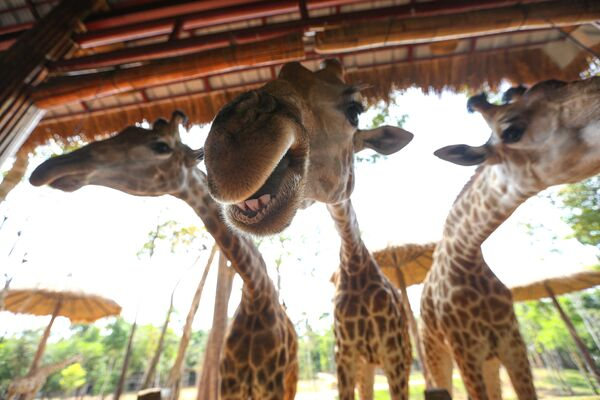 Hươu cao cổ tại công viên VinPearl Safari trên đảo Phú Quốc, Việt Nam - Sputnik Việt Nam