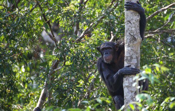 Tinh tinh Bonobo ngồi trên cây trong công viên Safari VinPearl trên đảo Phú Quốc, Việt Nam - Sputnik Việt Nam