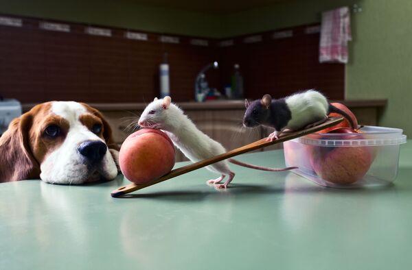 Chó theo dõi chuột trộm trái cây trong bếp - Sputnik Việt Nam
