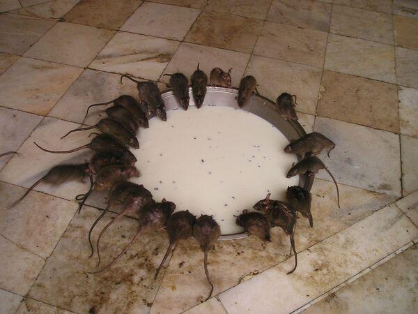 Đền thờ chuột ở Ấn Độ - Sputnik Việt Nam