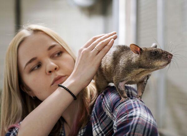 Vợ của nhà động vật học Evgeny Rybaltovsky - bà Marina với con chuột khổng lồ Gambi ở thành phố Vsevolozhsk, LB Nga - Sputnik Việt Nam