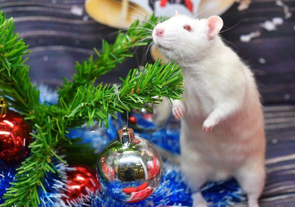 Con chuột Pukhlyash (Béo) bên cây thông Giáng sinh trong cửa hàng thú cưng ở Moskva - Sputnik Việt Nam