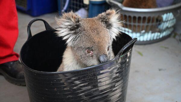 Một con gấu túi bị thương đang chờ được chữa vết bỏng tại Bệnh viện dã chiến trong Công viên tự nhiên hoang dã, đảo Kangaroo, Australia   - Sputnik Việt Nam