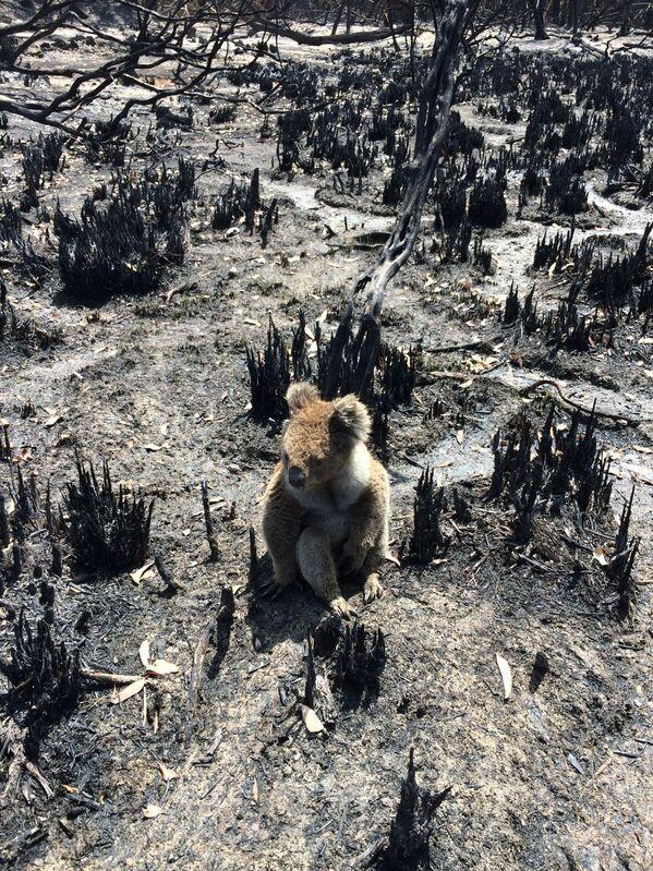 Gấu túi koala giữa đám cây cối bị cháy rụi trên đảo Kangaroo, Australia - Sputnik Việt Nam