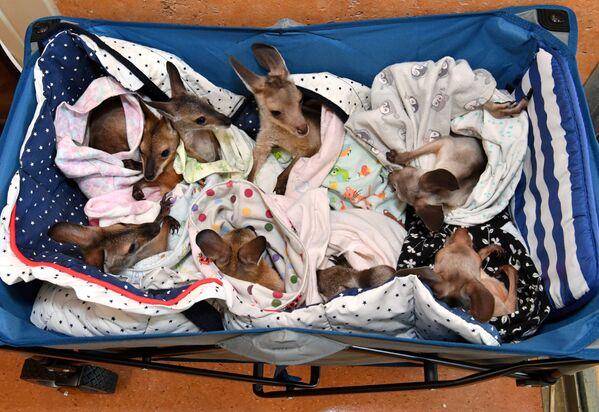 Chuột túi kangaroo mồ côi trong Bệnh viện của Công viên tự nhiên hoang dã ở Bear, Australia  - Sputnik Việt Nam