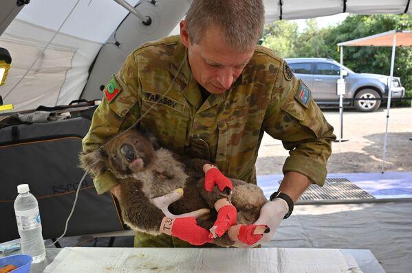 Chuột túi koala bị thương đang được cứu chữa trong Bệnh viện dã chiến trong Công viên tự nhiên hoang dã,  đảo Kangaroo, Australia   - Sputnik Việt Nam