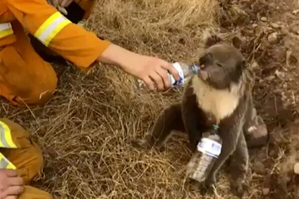 Lính cứu hỏa Australia cho con gấu túi koala vừa cứu uống nước từ cái chai - Sputnik Việt Nam