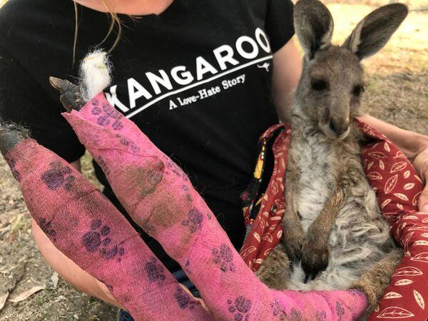Chuột túi kangaroo bị bỏng trong đám cháy rừng ở Australia  - Sputnik Việt Nam