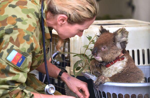 Gấu túi koala bị thương trong Bệnh viện dã chiến trong Công viên tự nhiên hoang dã, đảo Kangaroo, Australia   - Sputnik Việt Nam