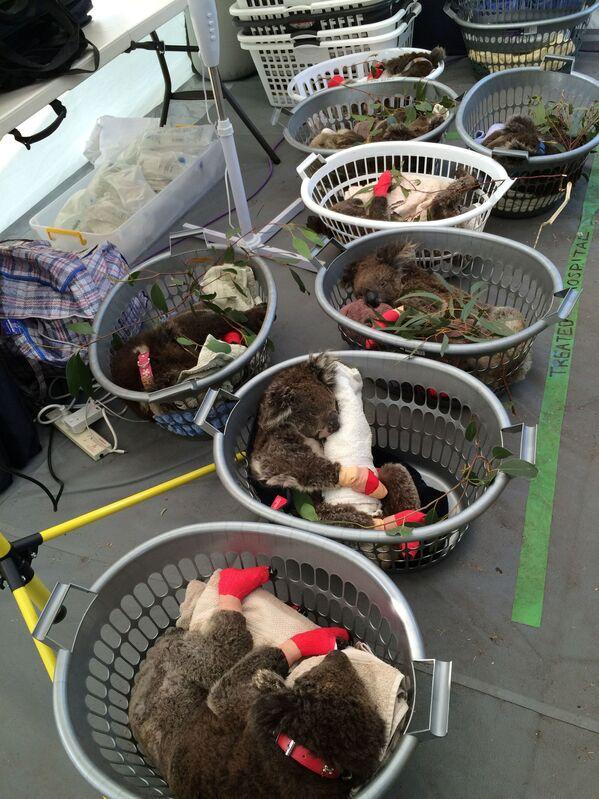 Những con gấu túi koala bị thương đang ở Bệnh viện dã chiến trong Công viên tự nhiên hoang dã, đảo Kangaroo, Australia   - Sputnik Việt Nam