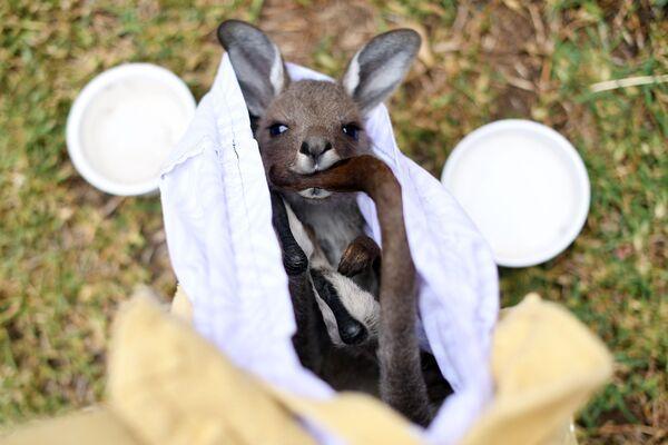 Chuột túi kangaroo bé bỏng được cứu thoát khỏi đám cháy rừng ở Australia - Sputnik Việt Nam