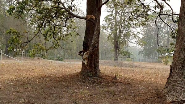 Chó Taylor giúp tìm kiếm những con gấu trúc koala bị ảnh hưởng bởi cháy rừng ở Australia  - Sputnik Việt Nam