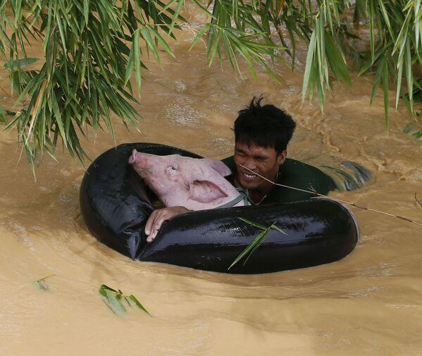 Giải cứu heo sau trận bão ở Philippines, năm 2015 - Sputnik Việt Nam
