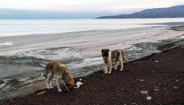 Những con chó trên bờ hồ Urmia ở Iran, năm 2018 - Sputnik Việt Nam