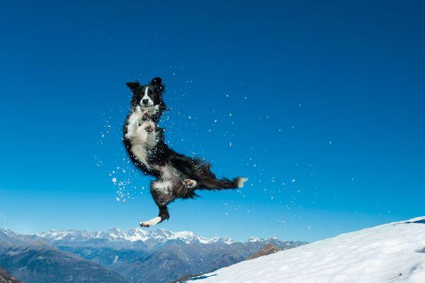 Chó collie nhảy nhót trong tuyết - Sputnik Việt Nam