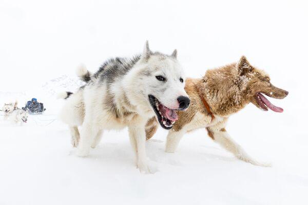 Thám hiểm Đông-Greenland trên xe do chó kéo từ Pirhuk - Sputnik Việt Nam