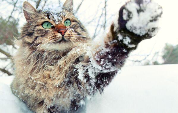 Mèo chơi đùa với tuyết - Sputnik Việt Nam