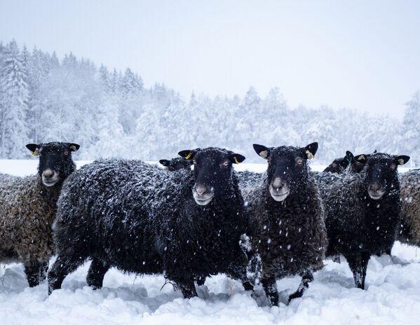 Những con cừu trên cánh đồng tuyết - Sputnik Việt Nam
