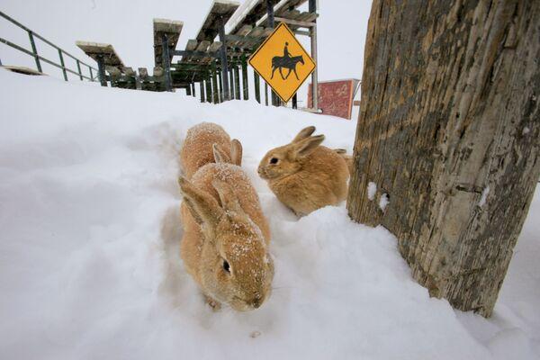 Đám thỏ trong tuyết ở Colorado - Sputnik Việt Nam