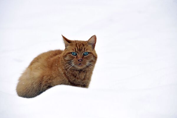 Mèo trong tuyết ở Pháp - Sputnik Việt Nam