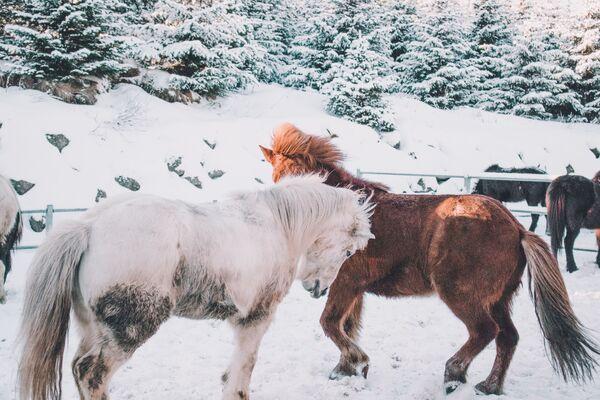 Ngựa trong khoang thả mùa đông - Sputnik Việt Nam