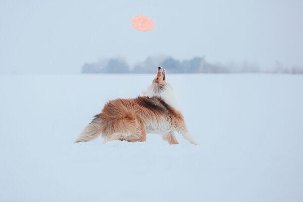 Chó collie nghịch cái đĩa trong tuyết - Sputnik Việt Nam