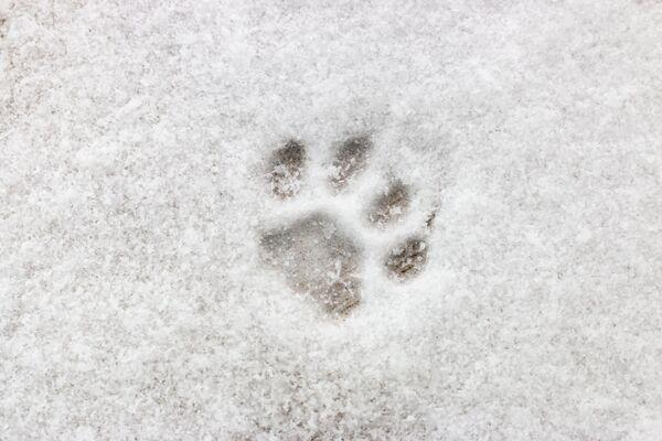 Dấu chân mèo trên tuyết trắng - Sputnik Việt Nam