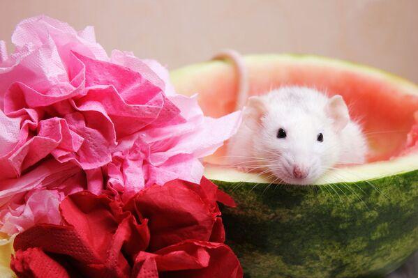Chuột trắng trong quả dưa hấu - Sputnik Việt Nam
