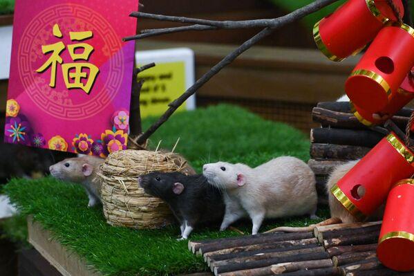 Chuột Dumbo tại vườn thú Singapore - Sputnik Việt Nam