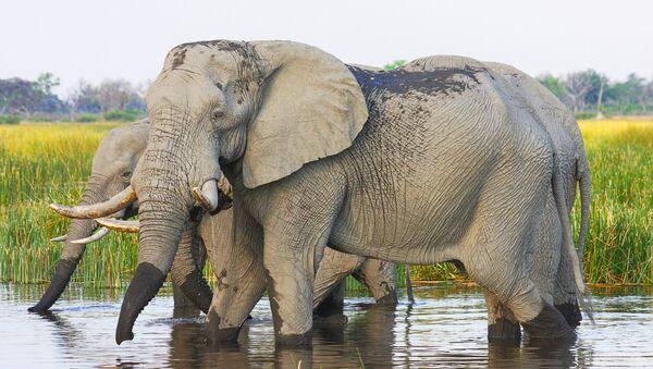 Cặp voi châu phi - Sputnik Việt Nam