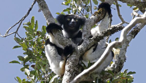 Indri trên cây - Sputnik Việt Nam