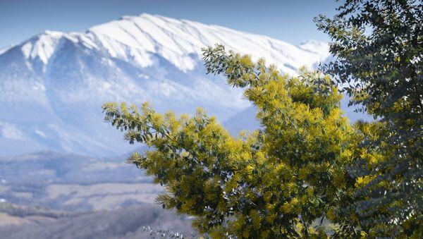 Cây mimosa trổ bông trên nền cảnh những ngọn núi phủ tuyết ở Sochi - Sputnik Việt Nam