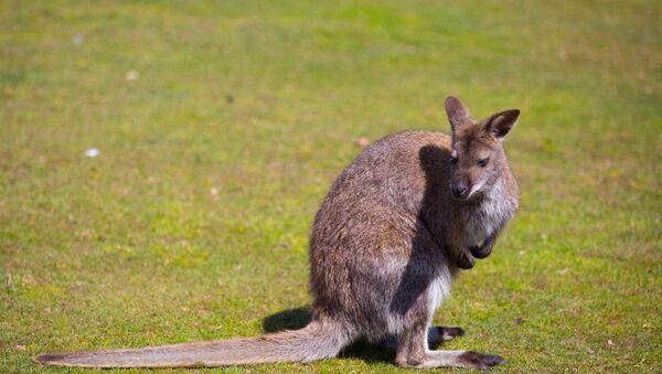 Kangaroo - Sputnik Việt Nam