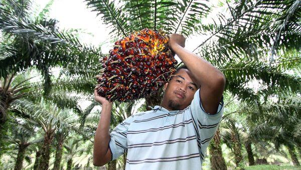 Công nhân mang đến trái cây để sản xuất dầu cọ - Sputnik Việt Nam