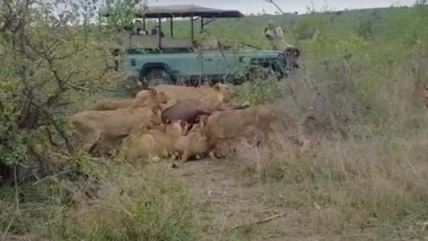 Con trâu bị kết án tử hình, nhưng vẫn sống sót sau cuộc tấn công của 15 con sư tử. - Sputnik Việt Nam