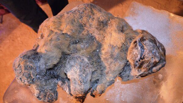 Hai sư tử hang động nhỏ tuổi bị đông lạnh được tìm thấy ở Bắc Cực vào cuối mùa hè này - Sputnik Việt Nam