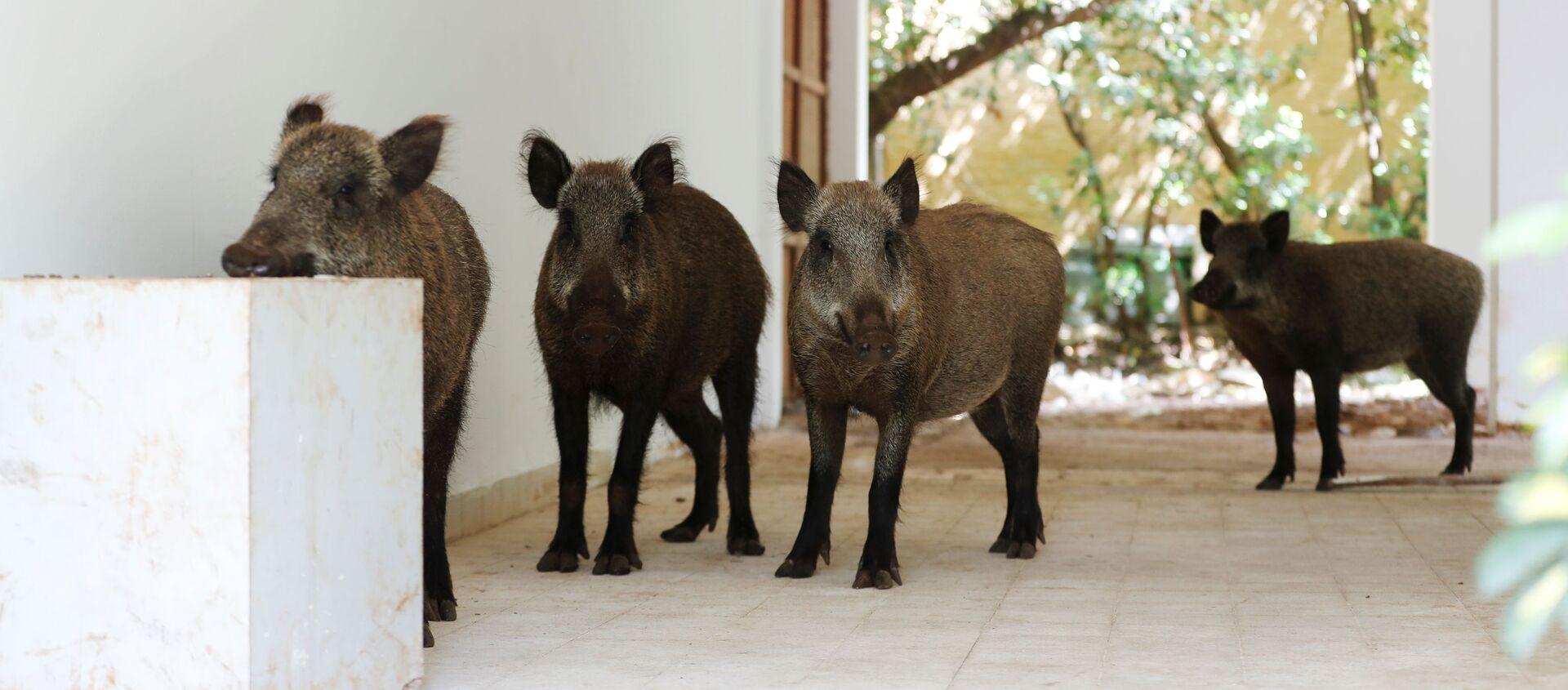 Lợn rừng vào thăm sân trong một ngôi nhà ở Haifa, Israel - Sputnik Việt Nam, 1920, 20.04.2020