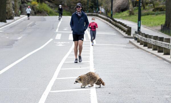 Gấu mèo băng qua đường ở Công viên Trung tâm New York - Sputnik Việt Nam