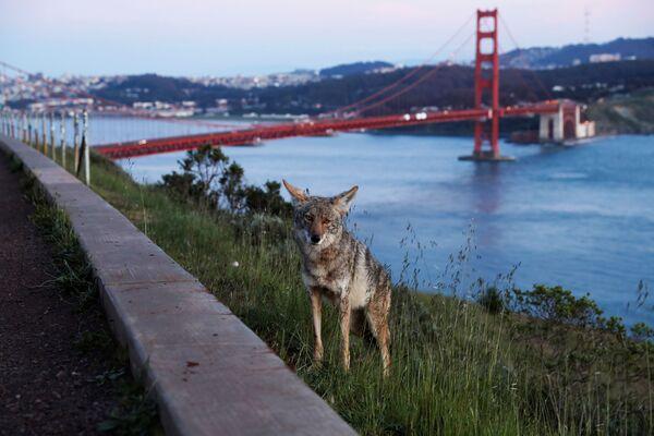 Sói đồng cỏ bên bờ sông ở San Francisco - Sputnik Việt Nam