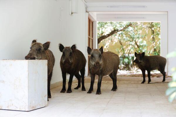Lợn rừng vào thăm sân trong một ngôi nhà ở Haifa, Israel - Sputnik Việt Nam