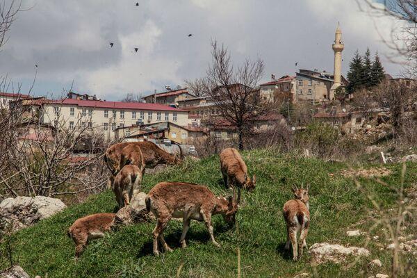 Sơn dương ở trung tâm thành phố Cemi Gezek của Thổ Nhĩ Kỳ - Sputnik Việt Nam
