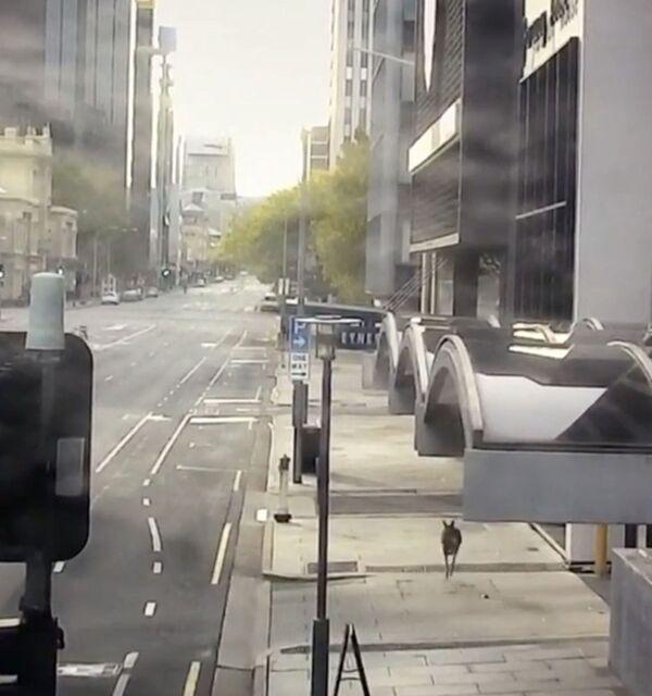 Chuột túi Kangaroo trên đường phố Australia  - Sputnik Việt Nam