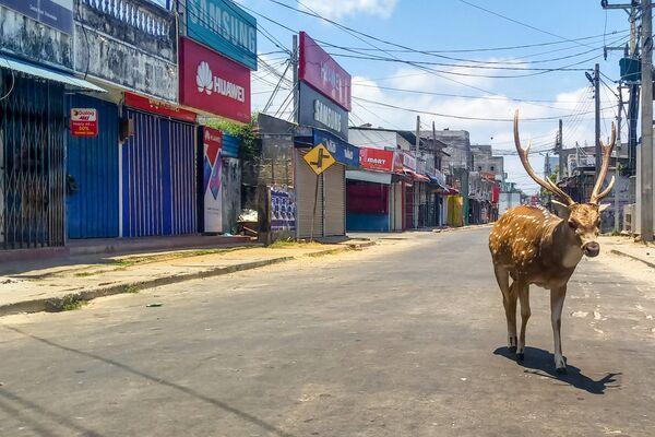 Hươu hoang dã ở thành phố cảng Trikomali, Sri Lanka - Sputnik Việt Nam