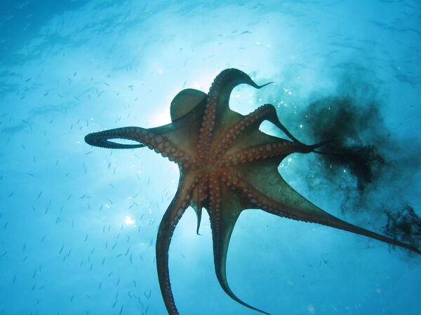 Con bạch tuộc đang phun mực - Sputnik Việt Nam