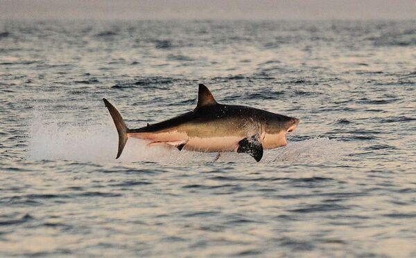 Cá mập trắng ở vùng biển gần vịnh Falsbay, Nam Phi - Sputnik Việt Nam