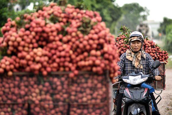 Một người nông dân Việt Nam đang chở vải thiều thu  hoạch được ra chợ bán - Sputnik Việt Nam
