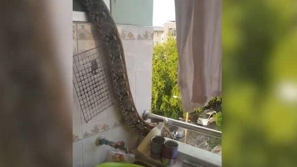 Con trăn tinh ranh định trốn khỏi căn hộ qua đường ban công - Sputnik Việt Nam